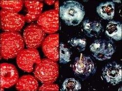 Медики назвали ягоды, замедляющие старение мозга