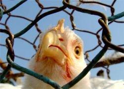 Вспышка птичьего гриппа произошла на юге России