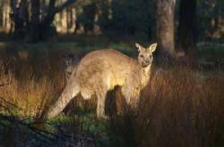 Россия заинтересована в крупном рогатом скоте из Австралии. Однако Австралия предлагает мясо кенгуру
