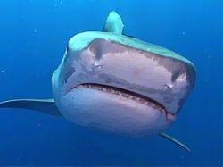 Пляжный спасатель защитил акулу от людей
