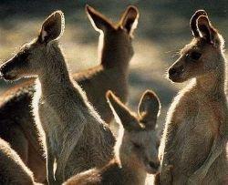 Сумчатые атакуют. Российские сосиски будут делать из кенгурятины
