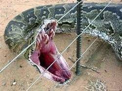 Власти США запретили питонов и анаконд
