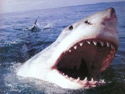 Акула-людоед появилась у берегов Австралии