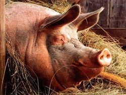 Гигантская свинья стала причиной 10-километровой пробки