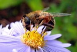 Ученые нашли причину пчелиного мора
