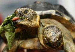 Двухголовая черепаха – экспонат женевского музея (видео)