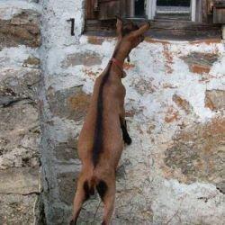 Как козы сыр воровали (фото)