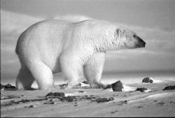 Глобальное потепление может уничтожить большинство белых медведей
