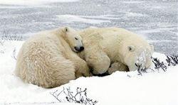 """Белые медведи пополнят \""""Красную книгу\"""""""