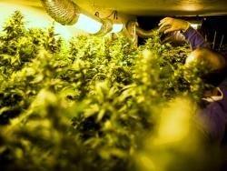 В Питере выращивали марихуану в промышленных масштабах
