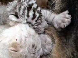 В китайском заповеднике немецкая овчарка усыновила тигрят