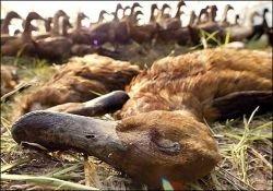 Птичий грипп представляет ежедневную опасность
