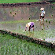 Генетически изменённый рис накормит голодающих