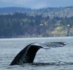 Серые киты продолжают вымирать