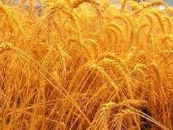 Пшеница достигла рекордных $9 за бушель