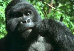 На Ebay выставлены картины, нарисованные гориллами