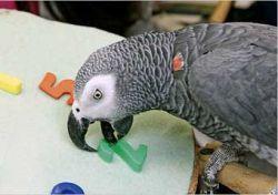 Скончался самый умный попугай в мире