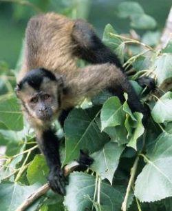 Ученые установили, почему обезьяны писают себе на ноги