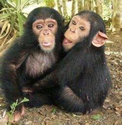 Шимпанзе воруют ради любви