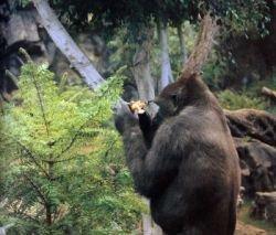 Крупным приматам грозит вымирание