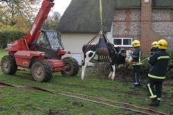 Во Львове в канализацию провалилась корова
