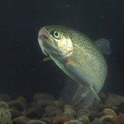 Рыбы стали суррогатными родителями