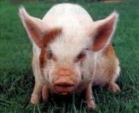 Ученые пришли к выводу, что свинья нам близка