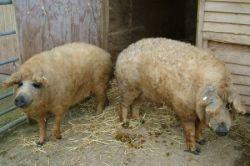 Свиньи, обросшие овечьей шерстью (фото)