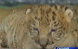 Дети запретной любви тигрицы и льва (видео)