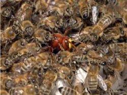У пчел обнаружили тактику коллективного удушения врагов