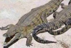 Обнаружены останки доисторических крокодилов