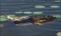 Аллигатор оторвал руку купальщику