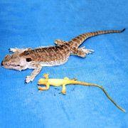 Ветеринар извлек из живой ящерицы резиновую
