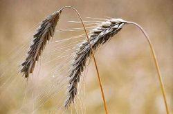 Россия ограничивает вывоз ячменя - это подхлестнет новый рост цен