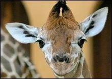 Полиция не дала жирафа на съедение голодным зимбабвийцам