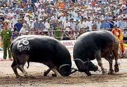 Вьетнамские бои быков ничуть не уступают испанской корриде