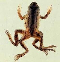 Лягушки-уроды появляются из-за загрязнения прудов удобрениями