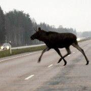 Шведских автомобилистов учат объезжать диких животных