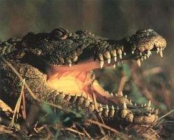 Австралийских крокодилов можно сравнить с бумерангами