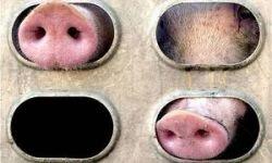 В аварии под Нижним Новгородом погибло 36 свиней