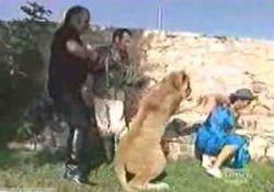 Лев напал на репортера во время съемок (видео)