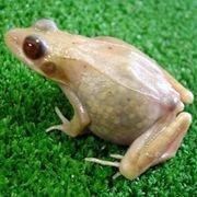 В Хиросиме получены живые прозрачные лягушки