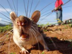 Гамбийцы используют крыс для обнаружения бомб и распознавания болезней (фото)