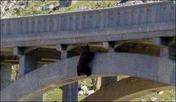 Спасение медведя-самоубийцы (фото)