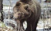 На трассе Москва-Петербург машина сбила медведицу с медвежатами