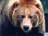 Под Новгородом медведица охотится на грибников
