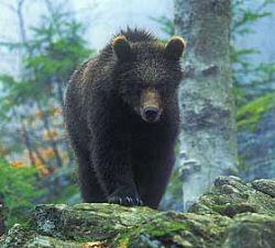 Двенадцать туристов спасли от медведицы