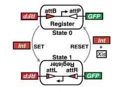 Схема работы модуля ДНК-памяти.  Г-образной стрелкой показан промотор, активирующий зеленый (GFP) и красный...