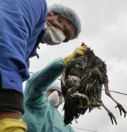 Вирус птичьего гриппа мутировал в человеческий