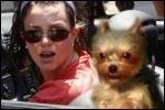 «Свинский ход» PETA против Бритни Спирс